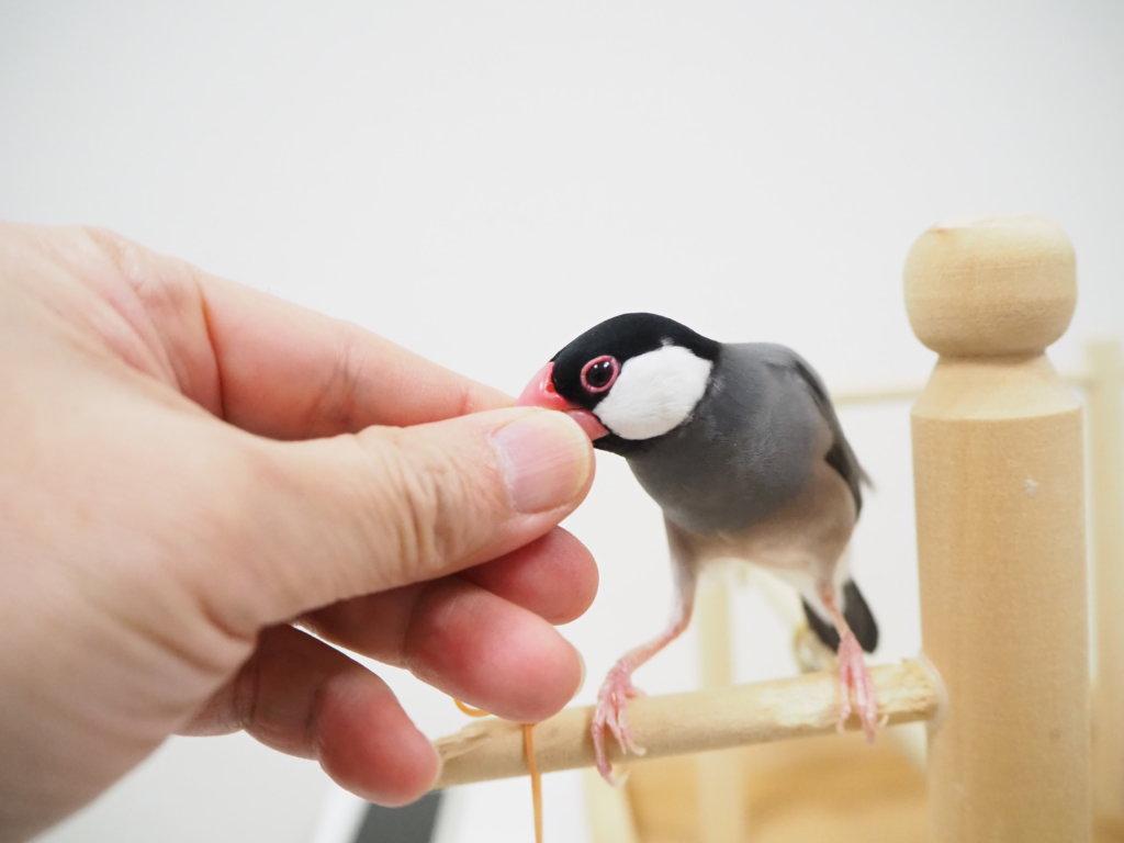 飼い主の指にくちばしを埋める文鳥のラムネくん