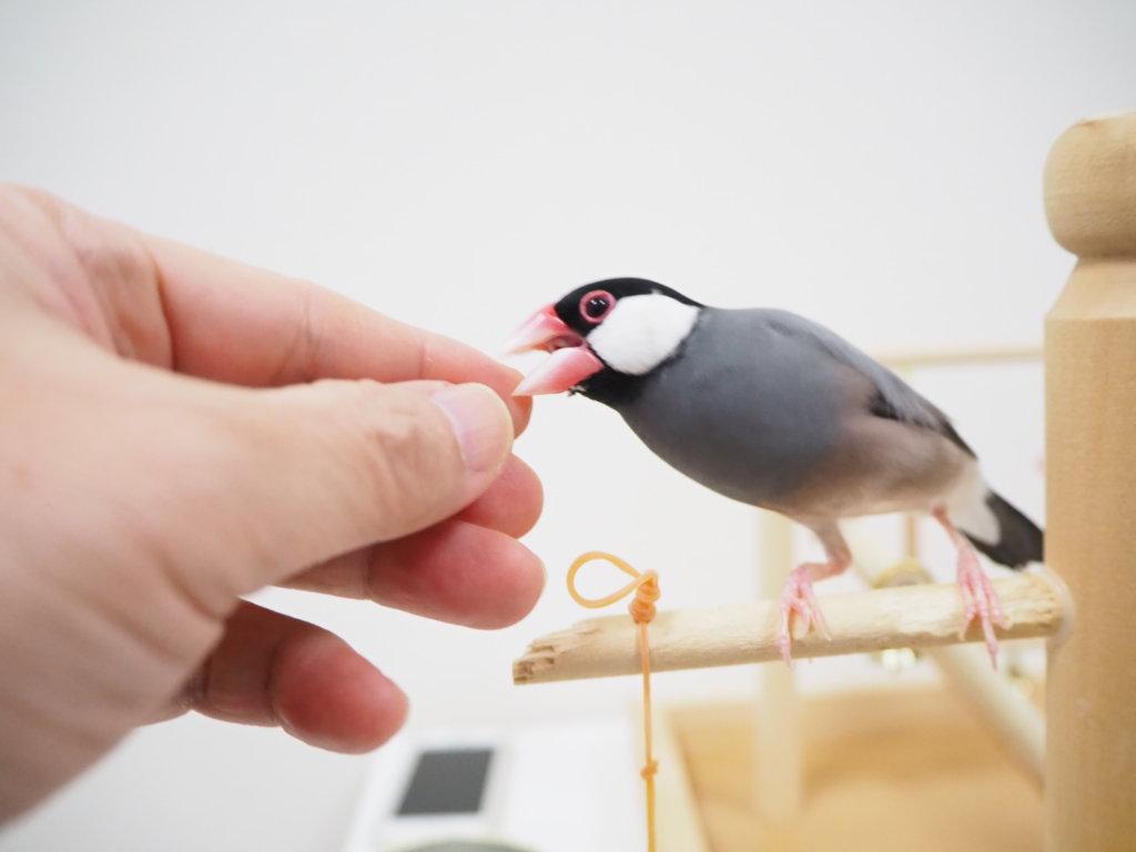 飼い主の指に噛み付こうとする文鳥のラムネくん
