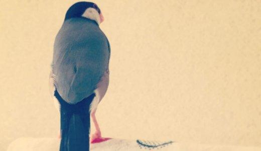 【文鳥の魅力】文鳥の背中でごはん何杯でもいけます
