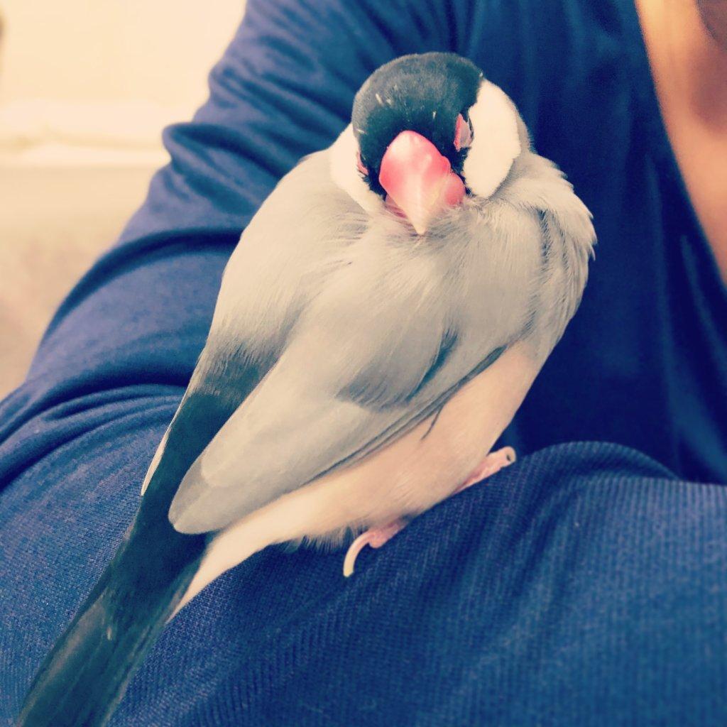 飼い主の腕で眠る文鳥のラムネくんの背中