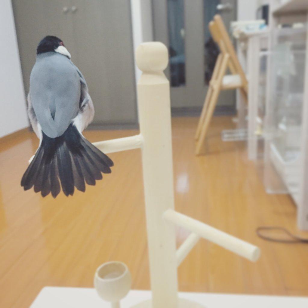 ぼわっとふくらむ文鳥のラムネくんの背中