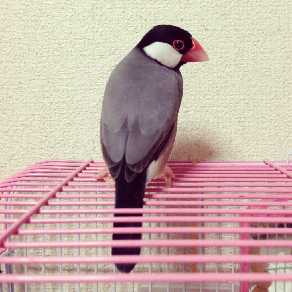 文鳥のラムネくんの振り向きざまの背中