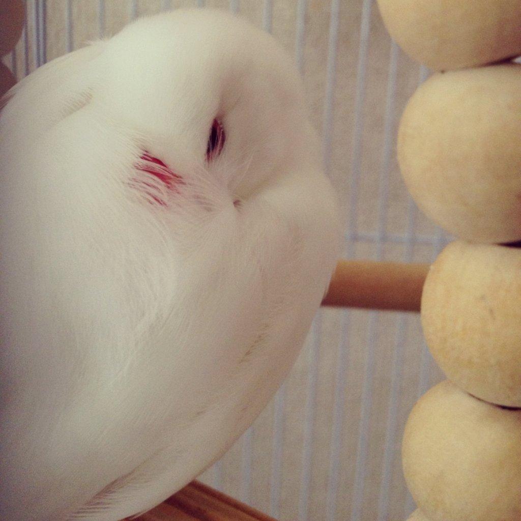 ブランコで眠る文鳥のチロルちゃんの背中
