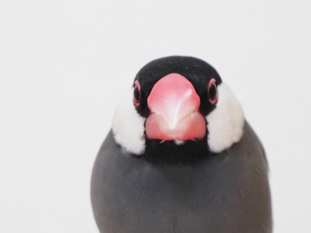 文鳥のラムネくんの正面顔、真面目そうに見える