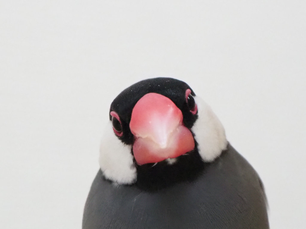 文鳥のラムネくんの正面顔、少し首を傾げている。