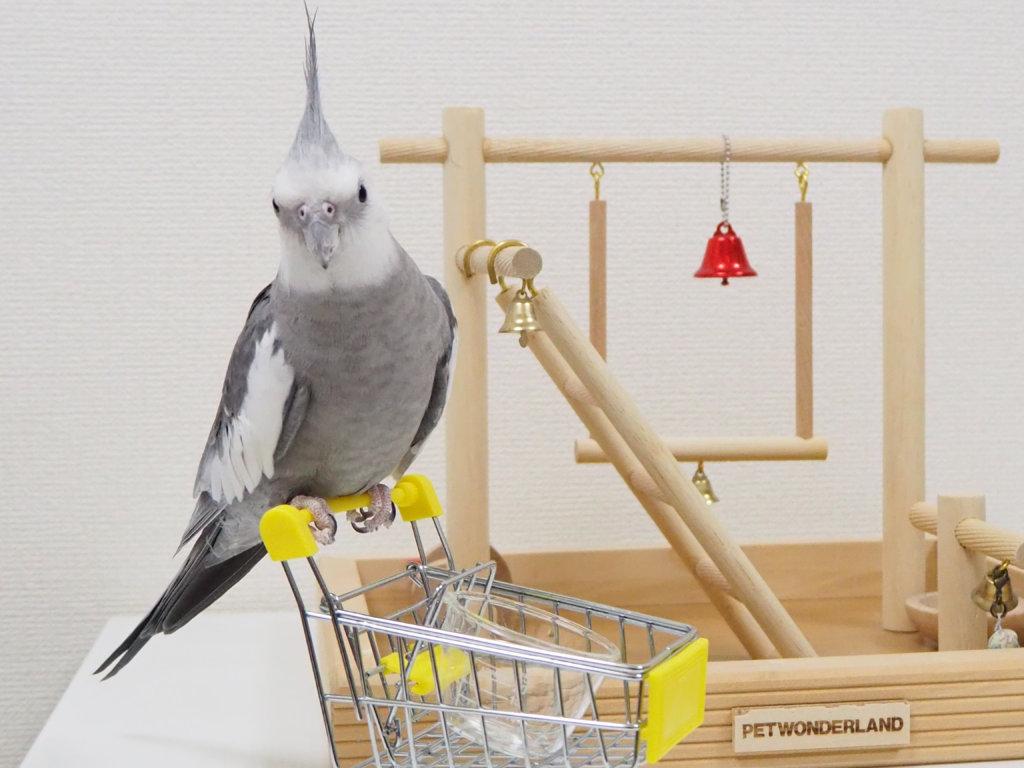 ショッピングカートのおもちゃに乗るオカメインコのポテトくん