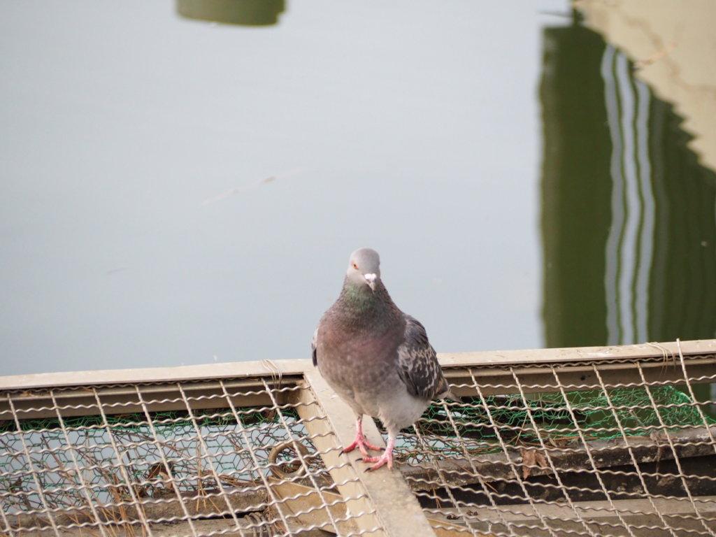 洗足池公園の鳩