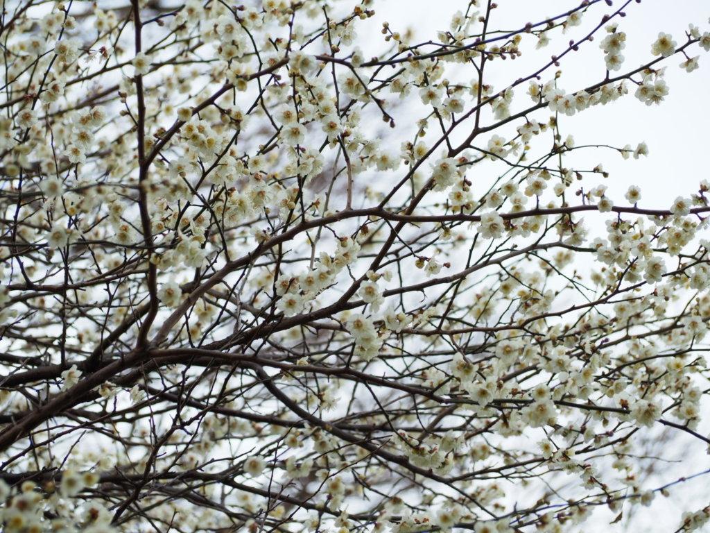 洗足池公園の梅