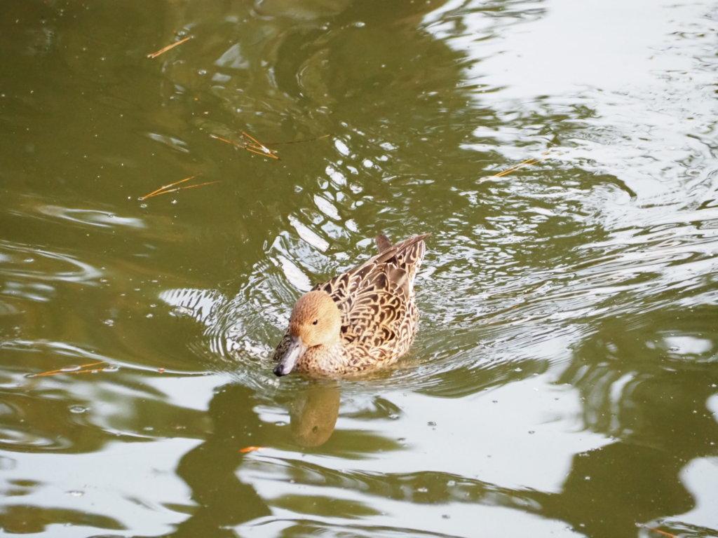 洗足池公園のオナガガモ