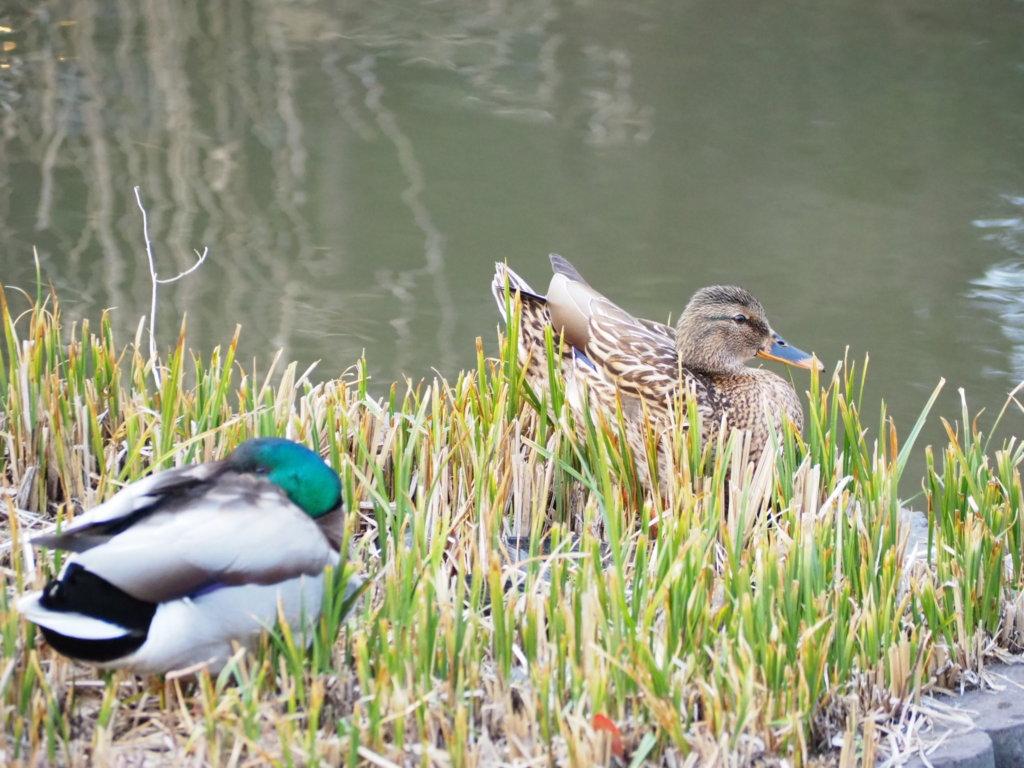 洗足池公園の鴨