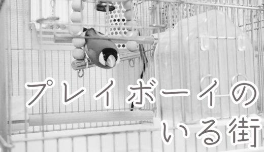 プレイボーイのいる街【文鳥・サザナミインコ】