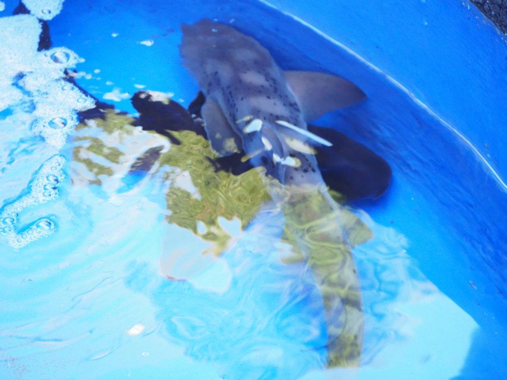 小さなプールにいるサメ