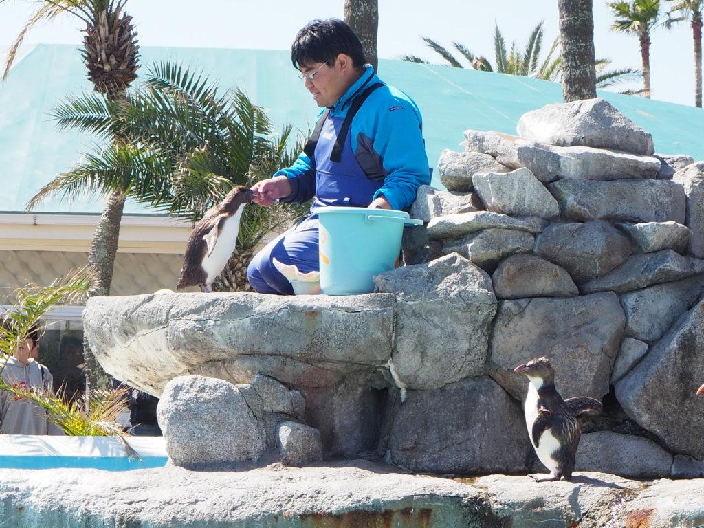 飼育員さんから魚をもらうキタイワトビペンギン
