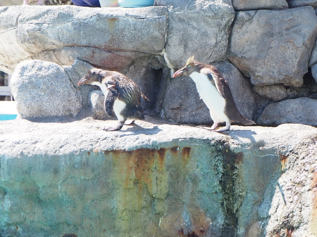 食事の順番待ちをするキタイワトビペンギンたち