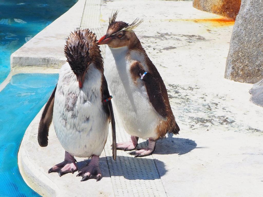 仲間に毛づくろいしているキタイワトビペンギン