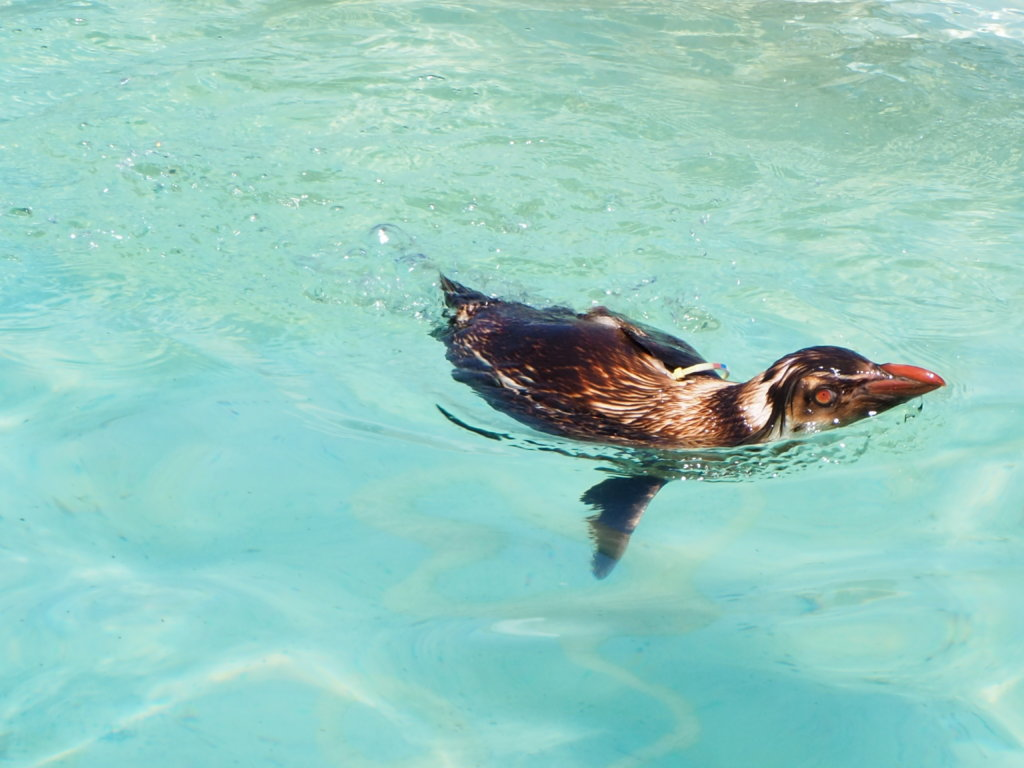 スイスイと泳ぐキタイワトビペンギン