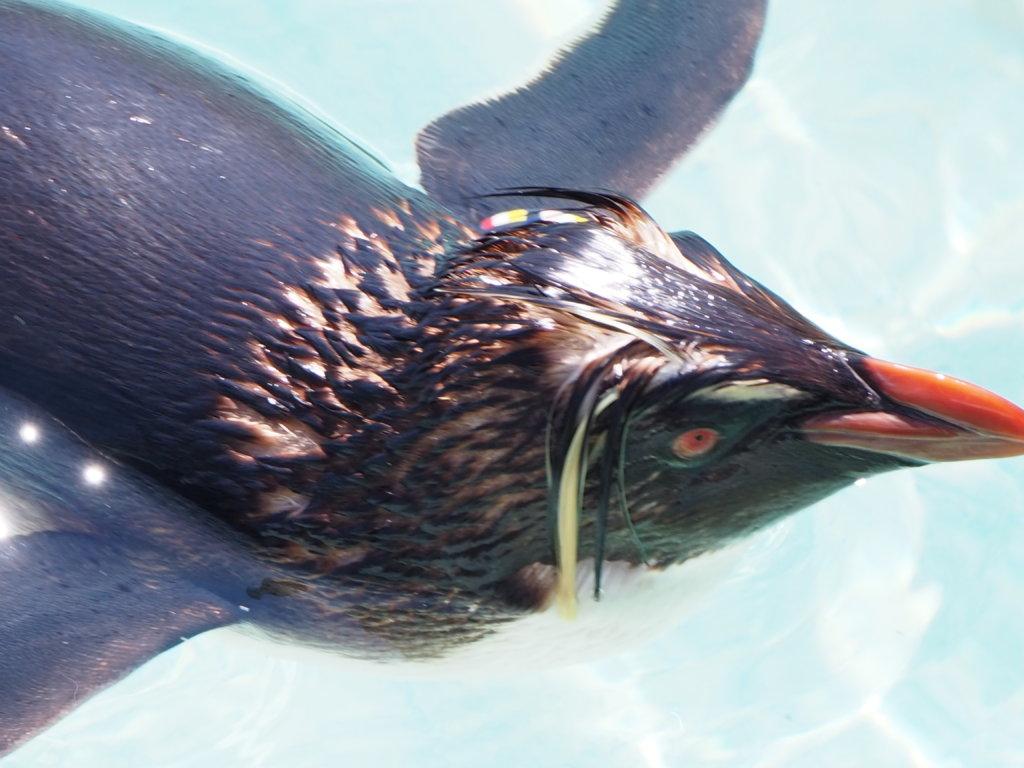 泳いでいるキタイワトビペンギンの顔アップ