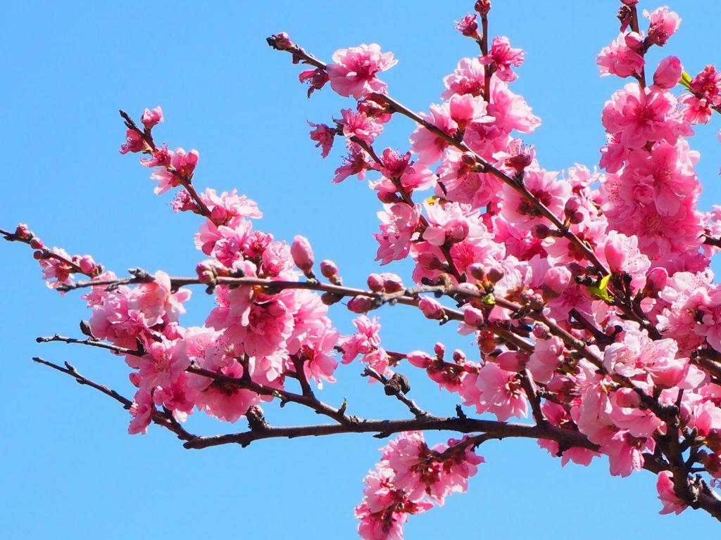 マリンパーク内の桜