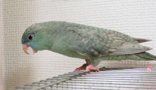 【サザナミインコ】早食いなすびくん、1日に2度動物病院へ行く〜ペレット(餌)の与え方について考え直す【つばめ動物病院】