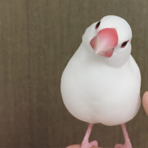 文鳥のチロルちゃん