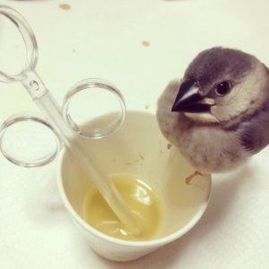挿し餌の容器に乗る文鳥のラムネくん
