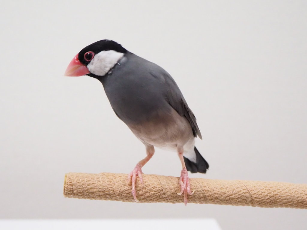 自着性テープを巻いた止まり木に乗る文鳥のラムネくん
