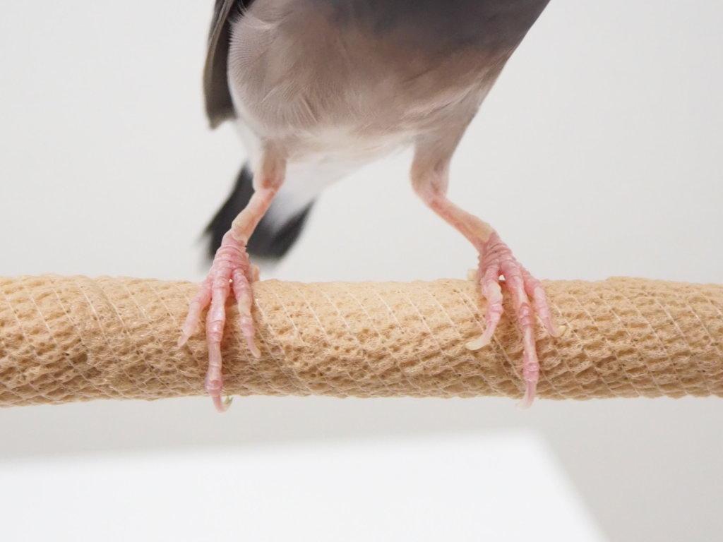 自着性テープを巻いた止まり木に乗る文鳥のラムネくんの脚
