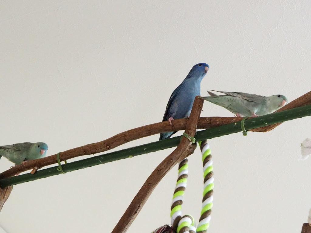 PSK Bird さんちのサザナミインコたち