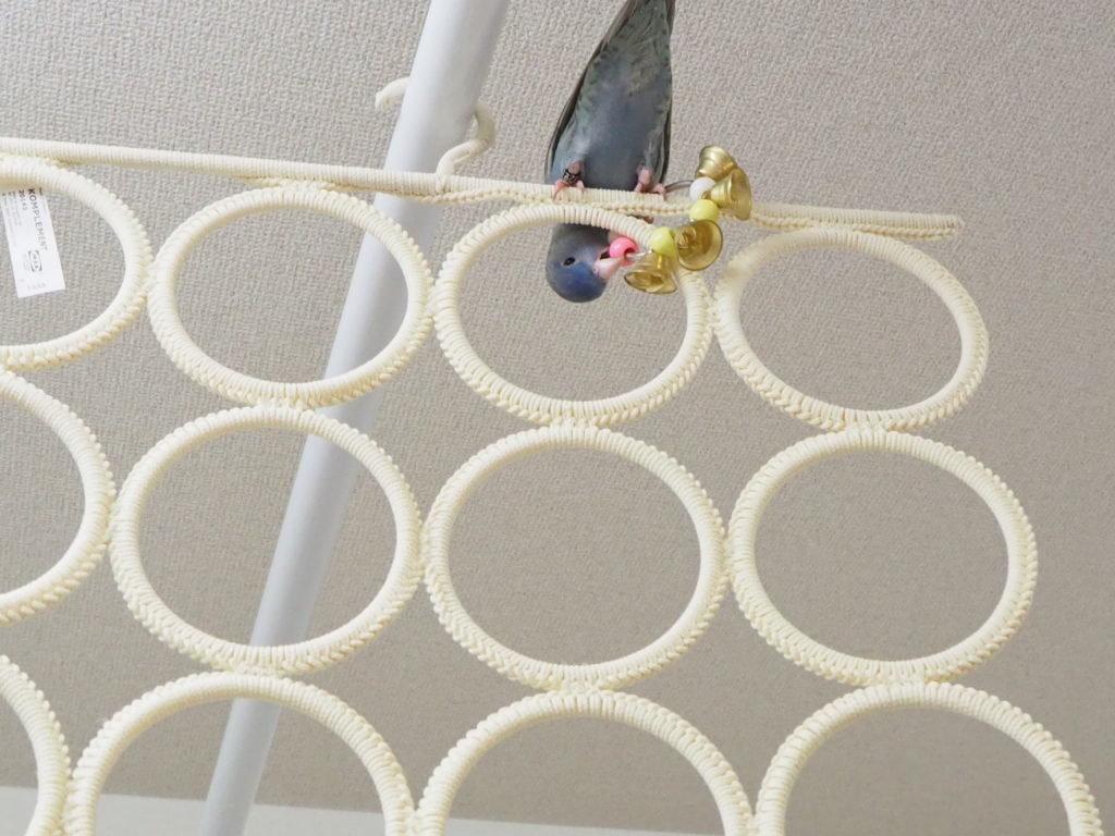 サザナミインコのくるみちゃんがマルチユースハンガーのてっぺんに登って鈴をかじっている