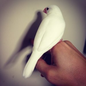 背中を向けている白文鳥のチロルちゃん