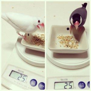 体重計に載っている文鳥のチロルちゃんとラムネくん