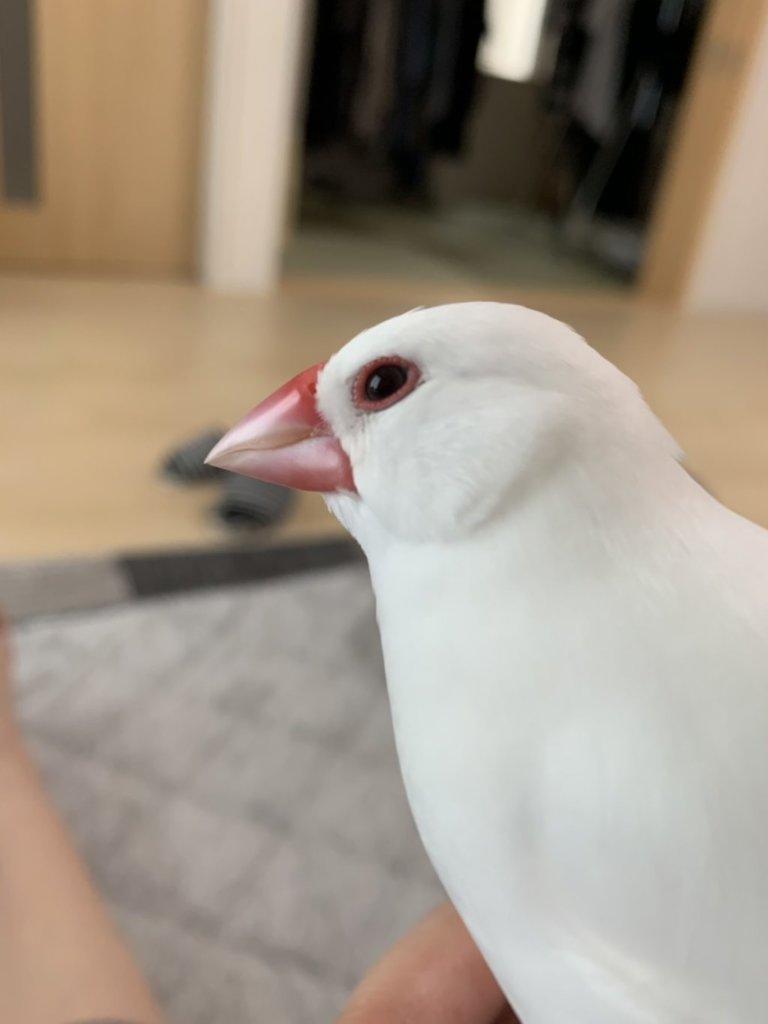 元彼女と暮らしている白文鳥のチロルちゃん