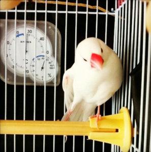 ケージの中の文鳥のチロルちゃんと温度計