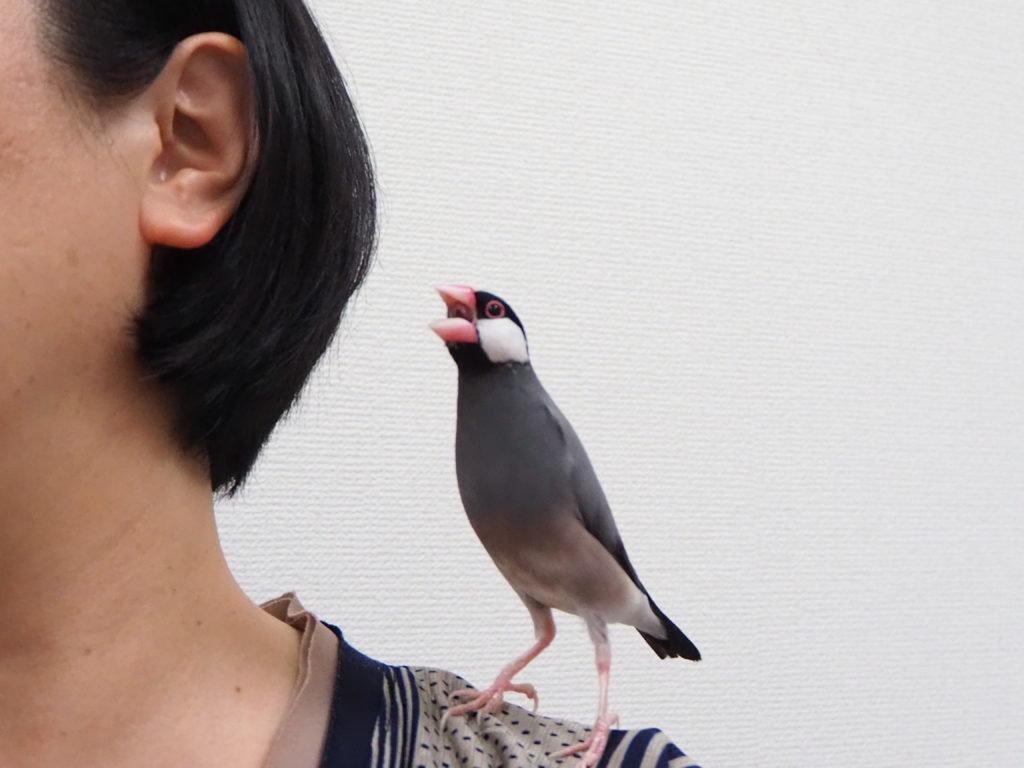 最初のお母さんの肩にとまる文鳥のラムネくん