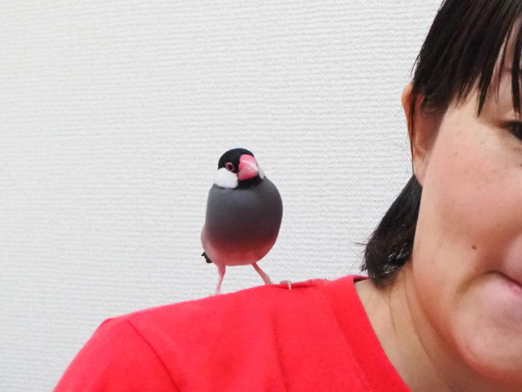 僕の恋人のんたんの肩に乗る文鳥のラムネくん