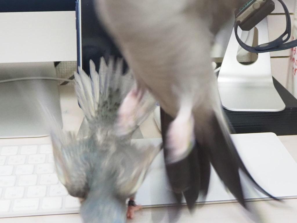 オカメインコのポテトくんがサザナミインコのくるみちゃんの威嚇に負けて飛んでいく