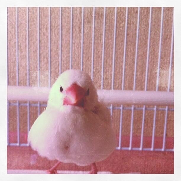 生後間もない白文鳥のチロルちゃん