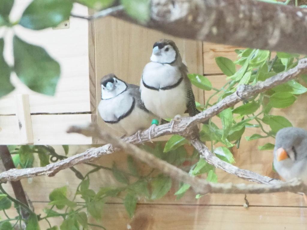 とまり木に止まっている2羽のカノコスズメ
