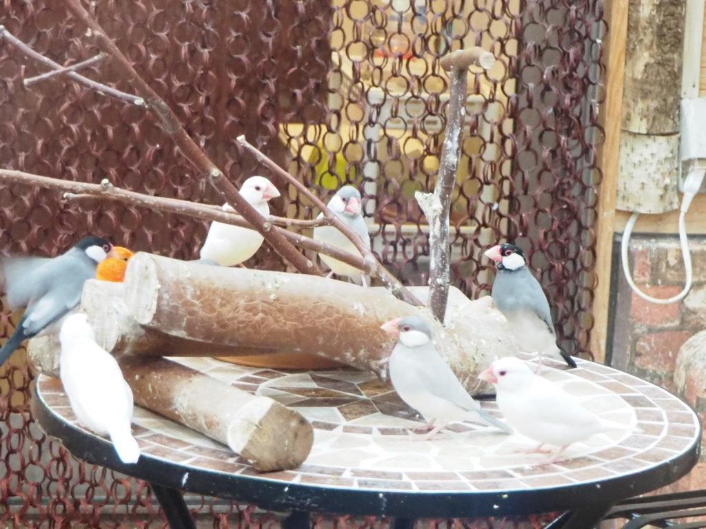 テーブルに集まって文鳥会議をしているのかな?