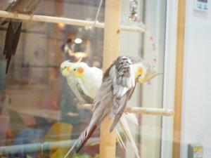 ことりカフェ上野本店のオカメインコ