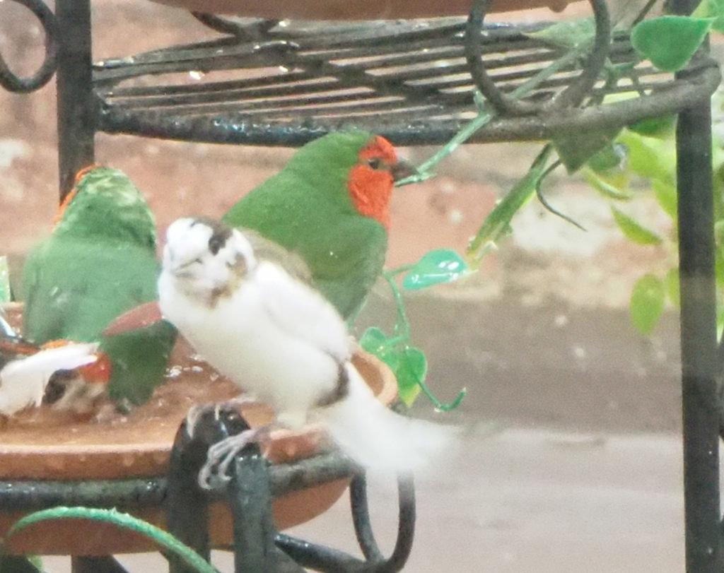 緑のボディに鮮やかな赤色の顔が特徴的なヒノマルチョウ
