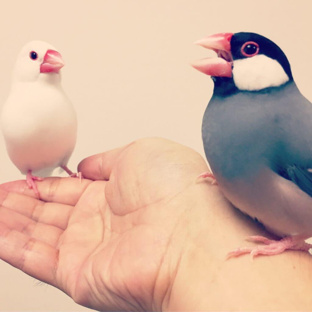 手に乗っている文鳥のラムネくんとチロルちゃん