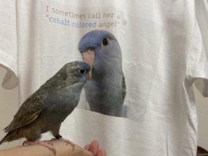自分がデザインされたTシャツを見つけたサザナミインコのくるみちゃん