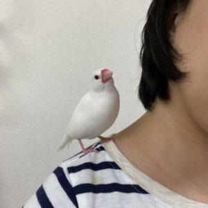 飼い主(僕の元彼女)の肩に乗る文鳥のチロルちゃん
