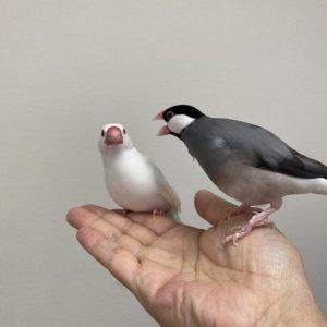 文鳥のラムネくんが文鳥のチロルちゃんに執拗にキャルルルしています