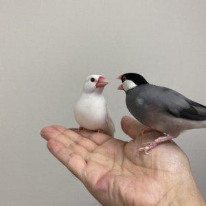 文鳥のラムネくんのキャルルルに対して冷静に対応する文鳥のチロルちゃん