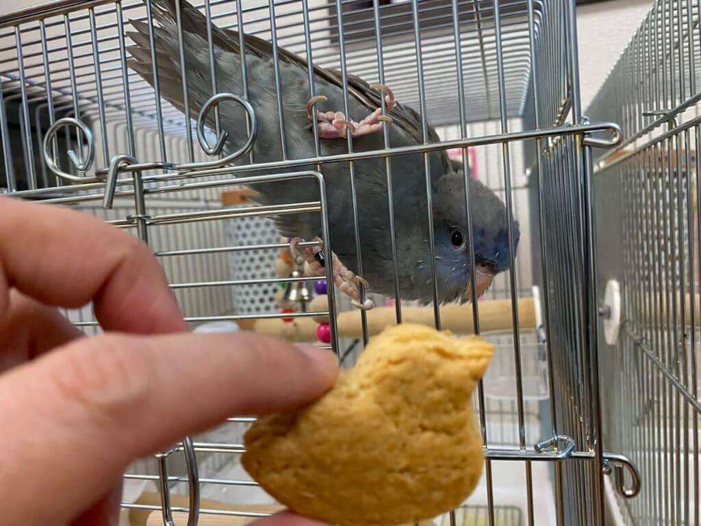 ことりクッキーを見つめるサザナミインコのくるみちゃん