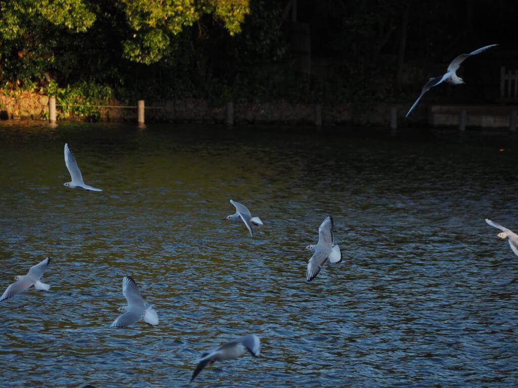池の上を飛び交うユリカモメ
