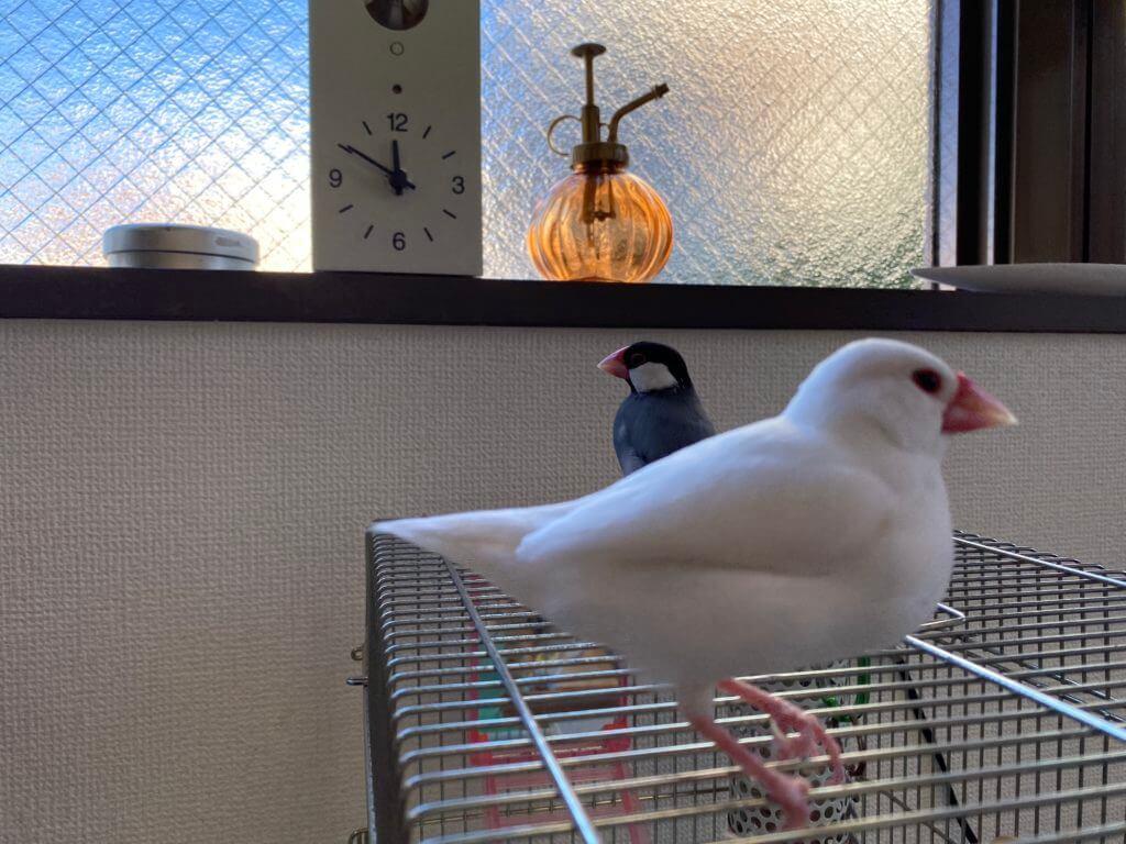 白文鳥のチロルちゃんと桜文鳥のラムネくん、お互いに少し意識し合っている