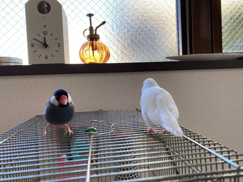 白文鳥のチロルちゃんと桜文鳥のラムネくん、距離を少し縮める